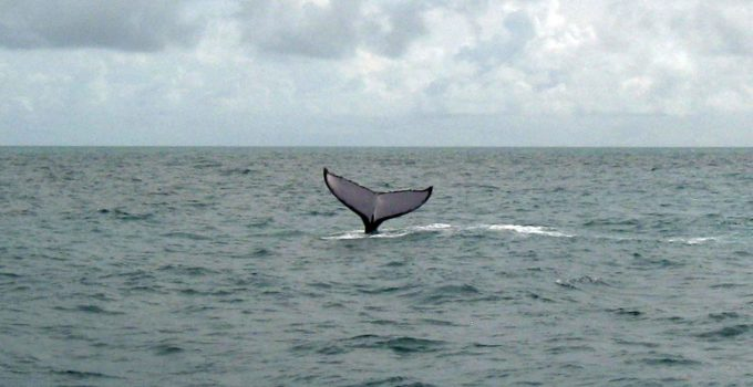 Baleias Jubarte – Avistamento no mar de Abrolhos – BA